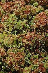 Sunset Velvet Shamrock (Oxalis vulcanicola 'Sunset Velvet') at Roger's Gardens