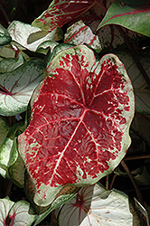 Raspberry Moon Caladium (Caladium 'Raspberry Moon') at Roger's Gardens