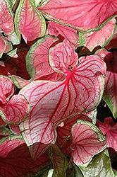 Florida Sweetheart Caladium (Caladium 'Florida Sweetheart') at Roger's Gardens