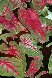 Scarlet Beauty Caladium (Caladium 'Scarlet Beauty') at Roger's Gardens