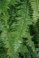 Variegated Boston Fern (Nephrolepis exaltata 'Variegata') at Roger's Gardens