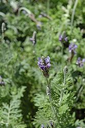 Fernleaf Lavender (Lavandula multifida) at Roger's Gardens