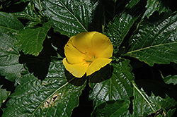 Yellow Alder (Turnera ulmifolia) at Roger's Gardens