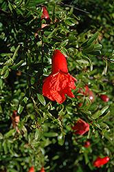 Chico Pomegranate (Punica granatum 'Chico') at Roger's Gardens