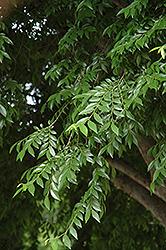 Drake Elm (Ulmus parvifolia 'Drake') at Roger's Gardens