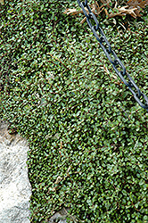 Creeping Wire Vine (Muehlenbeckia axillaris) at Roger's Gardens