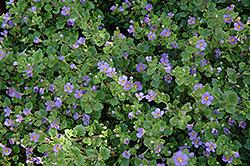 Big Falls Dark Blue Bacopa (Sutera cordata 'Big Falls Dark Blue') at Roger's Gardens
