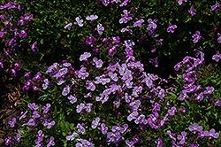 Lilac Palace Lobelia (Lobelia erinus 'Lilac Palace') at Roger's Gardens