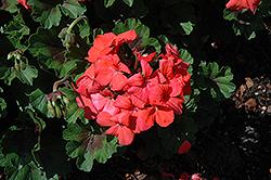 Pillar Flame Geranium (Pelargonium 'Pillar Flame') at Roger's Gardens