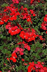 Pillar Scarlet Geranium (Pelargonium 'Pillar Scarlet') at Roger's Gardens