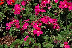 Pillar Violet Geranium (Pelargonium 'Pillar Violet') at Roger's Gardens