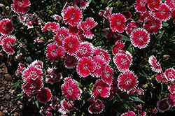Telstar Picotee Pinks (Dianthus 'Telstar Picotee') at Roger's Gardens