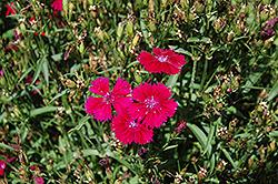 Telstar Burgundy Pinks (Dianthus 'Telstar Burgundy') at Roger's Gardens