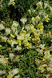 Trailing Snapshot Yellow Snapdragon (Antirrhinum majus 'Trailing Snapshot Yellow') at Roger's Gardens