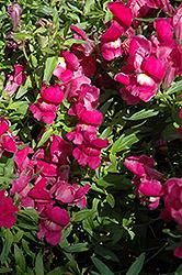 Trailing Snapshot Purple Snapdragon (Antirrhinum majus 'Trailing Snapshot Purple') at Roger's Gardens