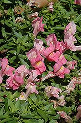 Trailing Snapshot Pink Snapdragon (Antirrhinum majus 'Trailing Snapshot Pink') at Roger's Gardens