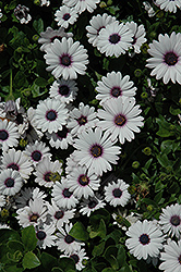 Akila White African Daisy (Osteospermum ecklonis 'Akila White') at Roger's Gardens