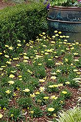 Voltage Yellow African Daisy (Osteospermum 'Voltage Yellow') at Roger's Gardens