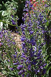 Riding Hood Delft Blue Beard Tongue (Penstemon barbatus 'Riding Hood Delft Blue') at Roger's Gardens
