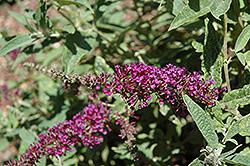 Buzz Purple Butterfly Bush (Buddleia davidii 'Buzz Purple') at Roger's Gardens
