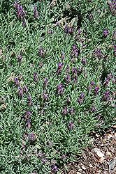 Laveanna Purple Lavender (Lavandula 'Laveanna Purple') at Roger's Gardens