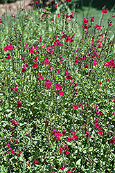 SallyG Groovy Magenta Autumn Sage (Salvia greggii 'SallyG Groovy Magenta') at Roger's Gardens