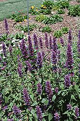 Blue Boa Hyssop (Agastache 'Blue Boa') at Roger's Gardens