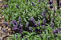 Cathedral Purple Salvia (Salvia farinacea 'Cathedral Purple') at Roger's Gardens