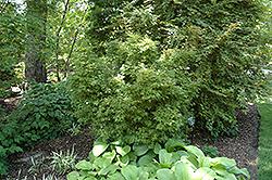 Bonfire Japanese Maple (Acer palmatum 'Bonfire') at Roger's Gardens