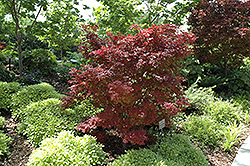 Adrians Compact Japanese Maple (Acer palmatum 'Adrian's Compact') at Roger's Gardens