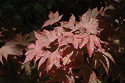 Ruslyn In The Pink Japanese Maple (Acer palmatum 'Ruslyn In The Pink') at Roger's Gardens