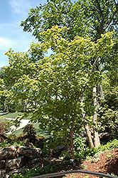 Otake Japanese Maple (Acer palmatum 'Otake') at Roger's Gardens