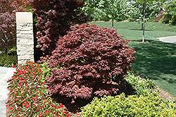 Rhode Island Red Japanese Maple (Acer palmatum 'Rhode Island Red') at Roger's Gardens