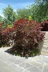 Sherwood Flame Japanese Maple (Acer palmatum 'Sherwood Flame') at Roger's Gardens