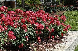 Cinco de Mayo Rose (Rosa 'Cinco de Mayo') at Roger's Gardens