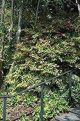 Blush Chinese Fringeflower (Loropetalum chinense 'Blush') at Roger's Gardens