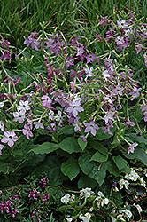 Perfume Purple Flowering Tobacco (Nicotiana 'Perfume Purple') at Roger's Gardens