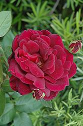 Oklahoma Rose (Rosa 'Oklahoma') at Roger's Gardens