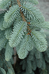 The Blues Colorado Blue Spruce (Picea pungens 'The Blues') at Roger's Gardens