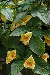 Fusion Glow Yellow Impatiens (Impatiens 'Fusion Glow Yellow') at Roger's Gardens