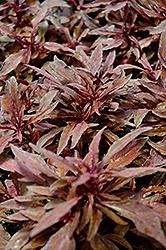 ColorBlaze Velvet Mocha Coleus (Solenostemon scutellarioides 'Velvet Mocha') at Roger's Gardens