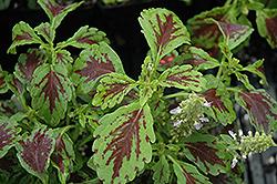 Aurora Raspberry Coleus (Solenostemon scutellarioides 'Aurora Raspberry') at Roger's Gardens