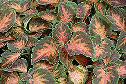 Wizard Coral Sunrise Coleus (Solenostemon scutellarioides 'Wizard Coral Sunrise') at Roger's Gardens