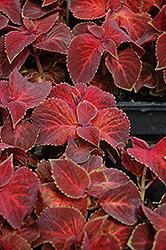 Wizard Velvet Red Coleus (Solenostemon scutellarioides 'Wizard Velvet Red') at Roger's Gardens