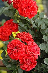 Autumn Sunblaze Rose (Rosa 'Meiferjac') at Roger's Gardens