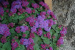 Artist Blue Violet Flossflower (Ageratum 'Artist Blue Violet') at Roger's Gardens