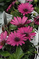 Soprano Purple African Daisy (Osteospermum 'Soprano Purple') at Roger's Gardens
