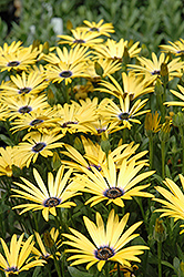 Lemon Symphony African Daisy (Osteospermum 'Lemon Symphony') at Roger's Gardens