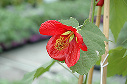 Super Red Flowering Maple (Abutilon 'Moned') at Roger's Gardens