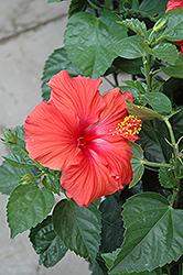 President Hibiscus (Hibiscus rosa-sinensis 'President') at Roger's Gardens